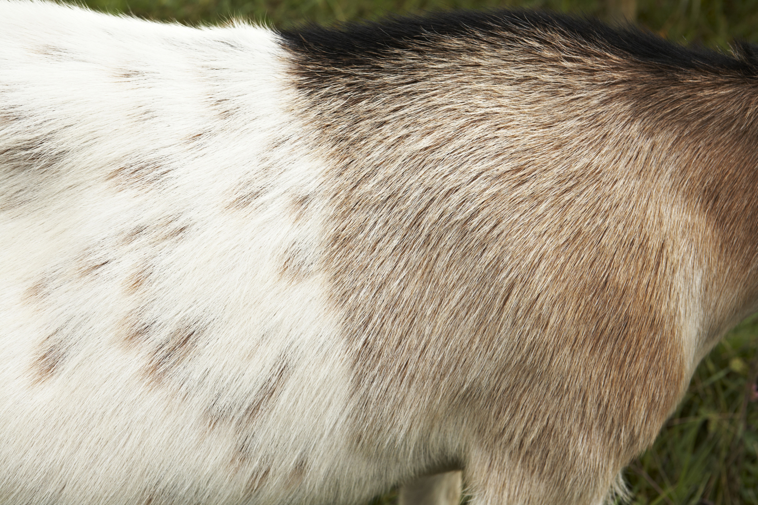 goat_MG_3209.jpg