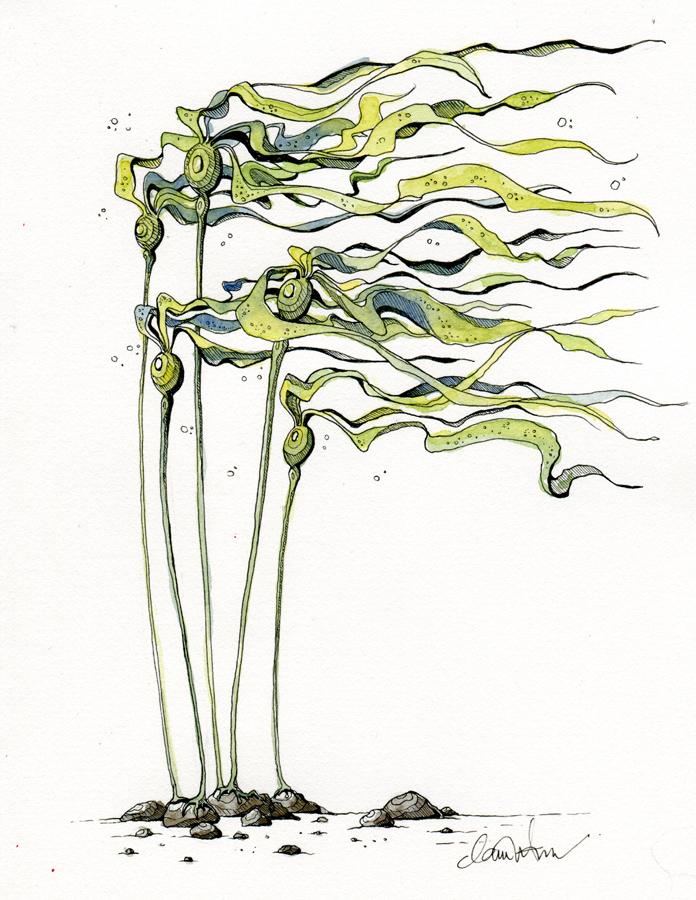 Bull Kelp