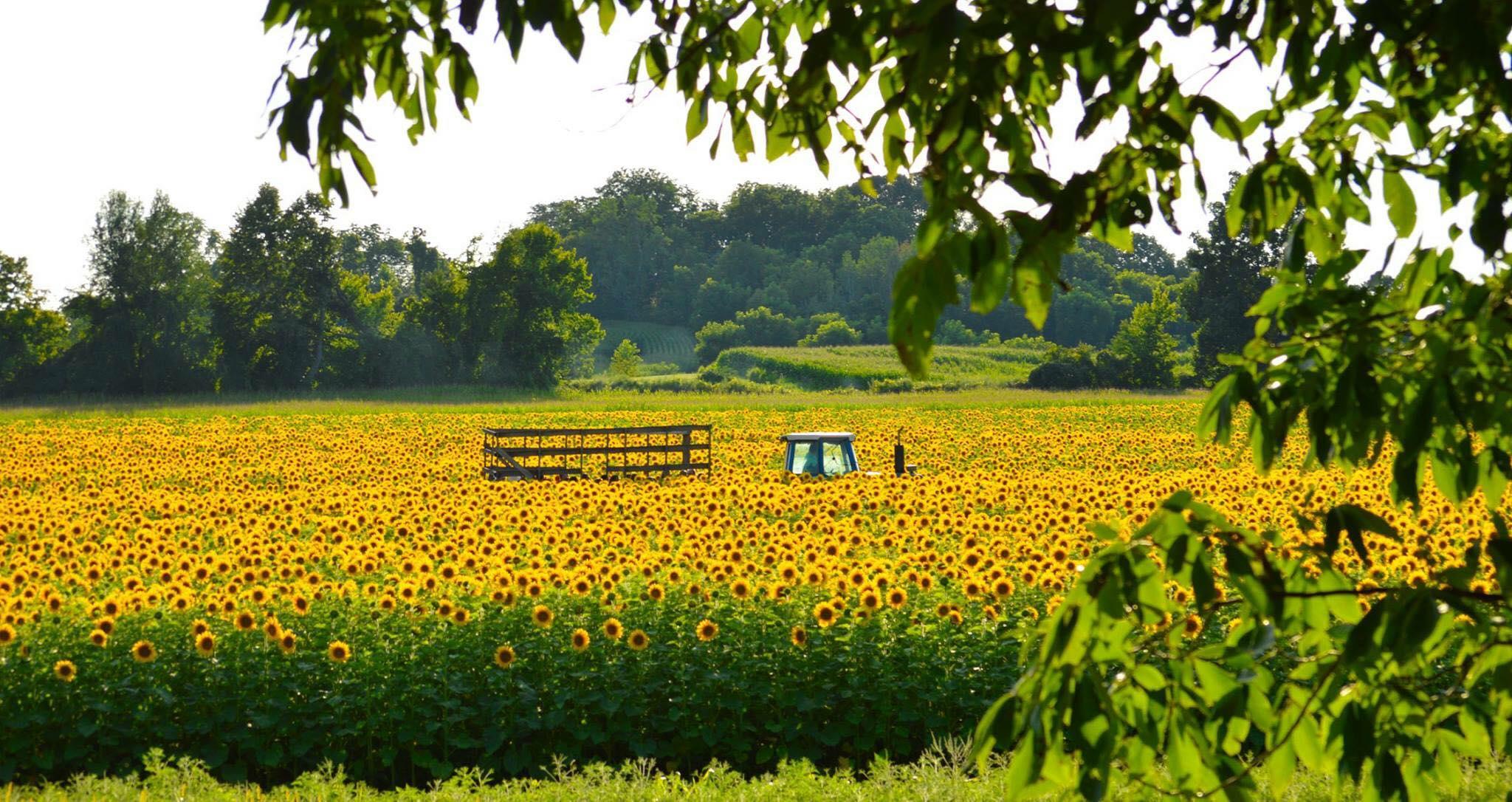 Frederick Farms Sunflower Fields.jpg
