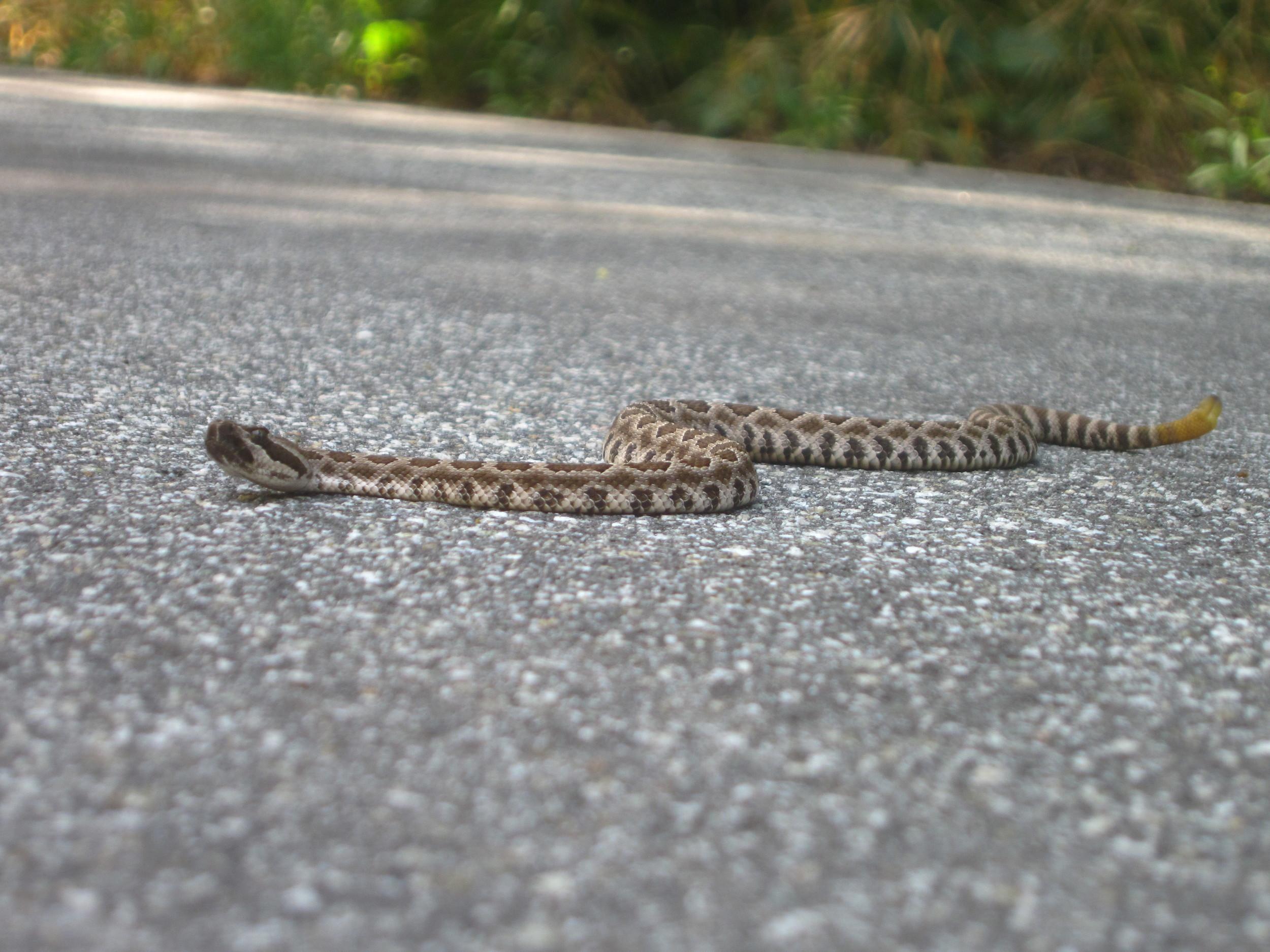 babby rattle snake