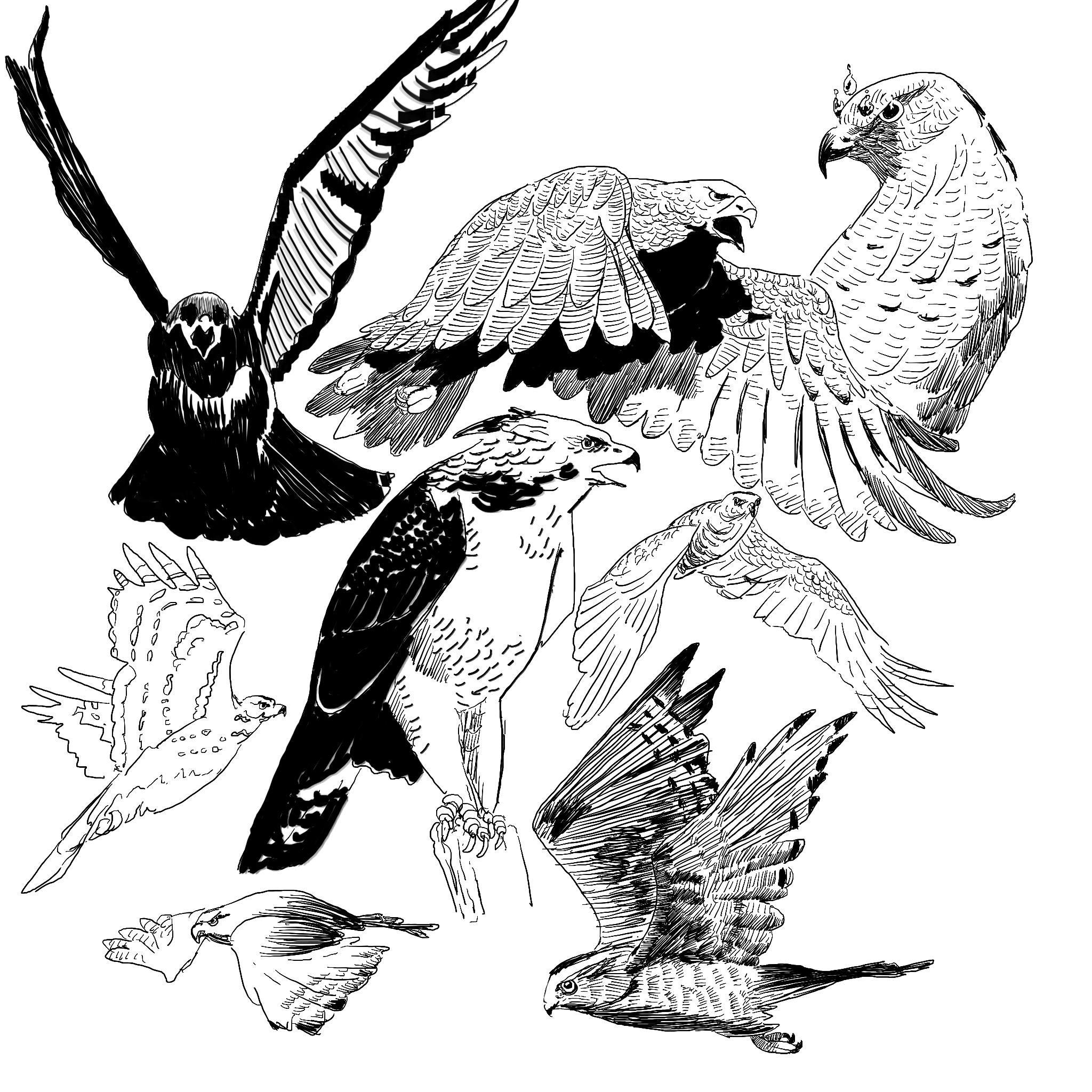 Hawk_Study.jpg