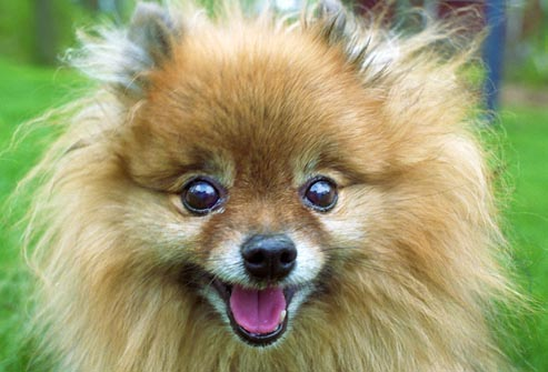 getty_rm_photo_of_close_up_of_pomeranian.jpg