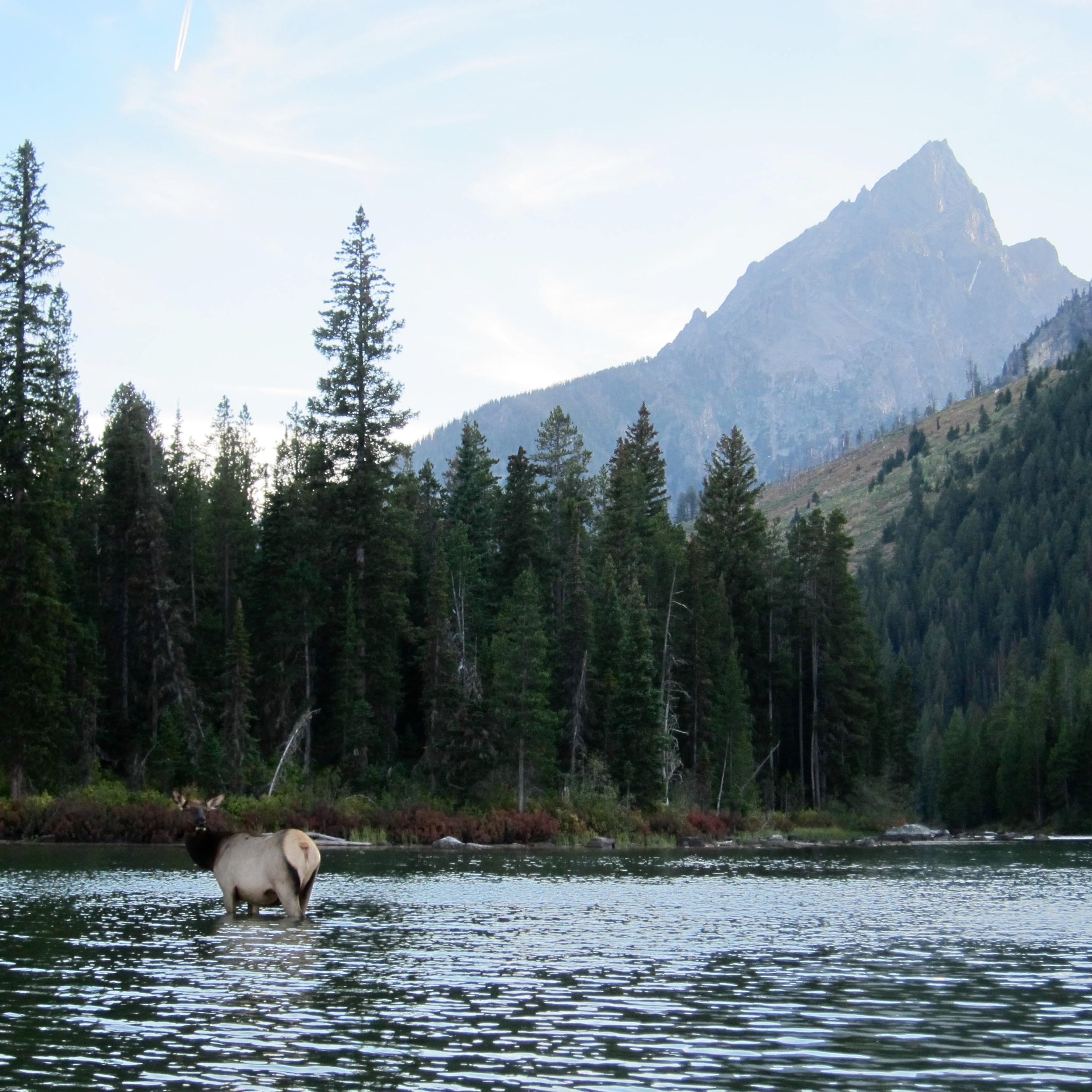 Our paddle back took us right past a group of elk that were just hanging out in the river.