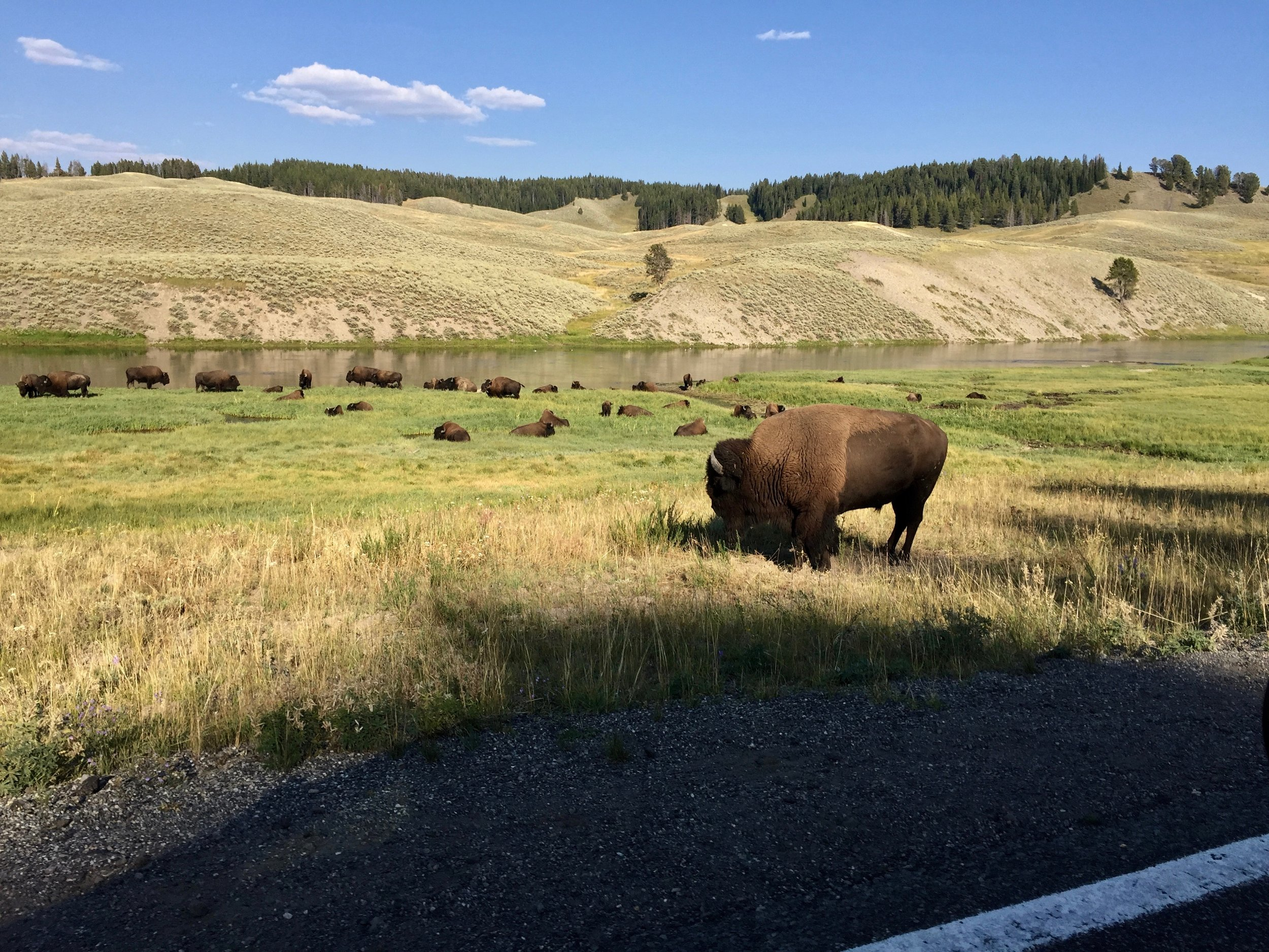 Visiting Yellowstone. The wildlife hangs out right on the side of the road!