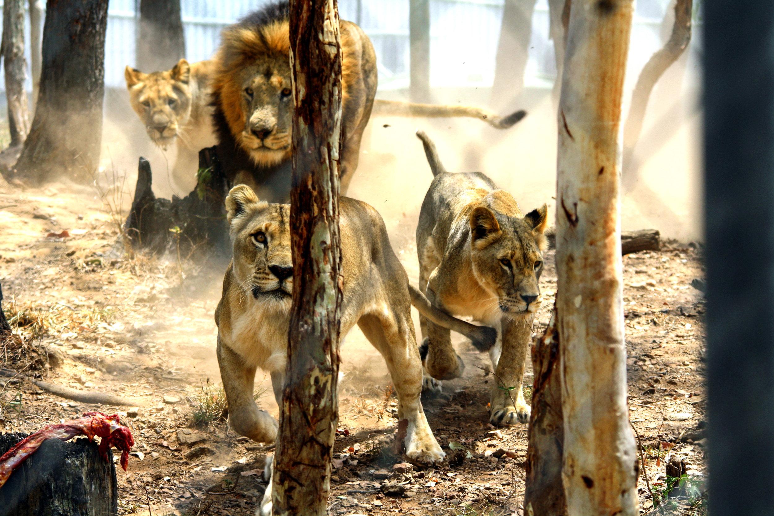 Antelope Park, Zimbabwe