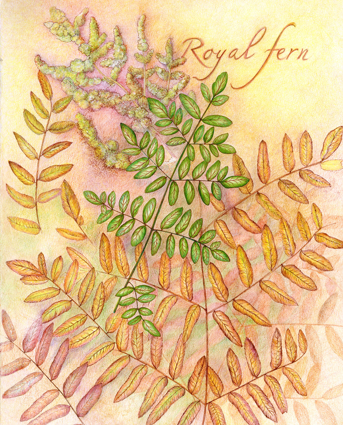 Royal Fern