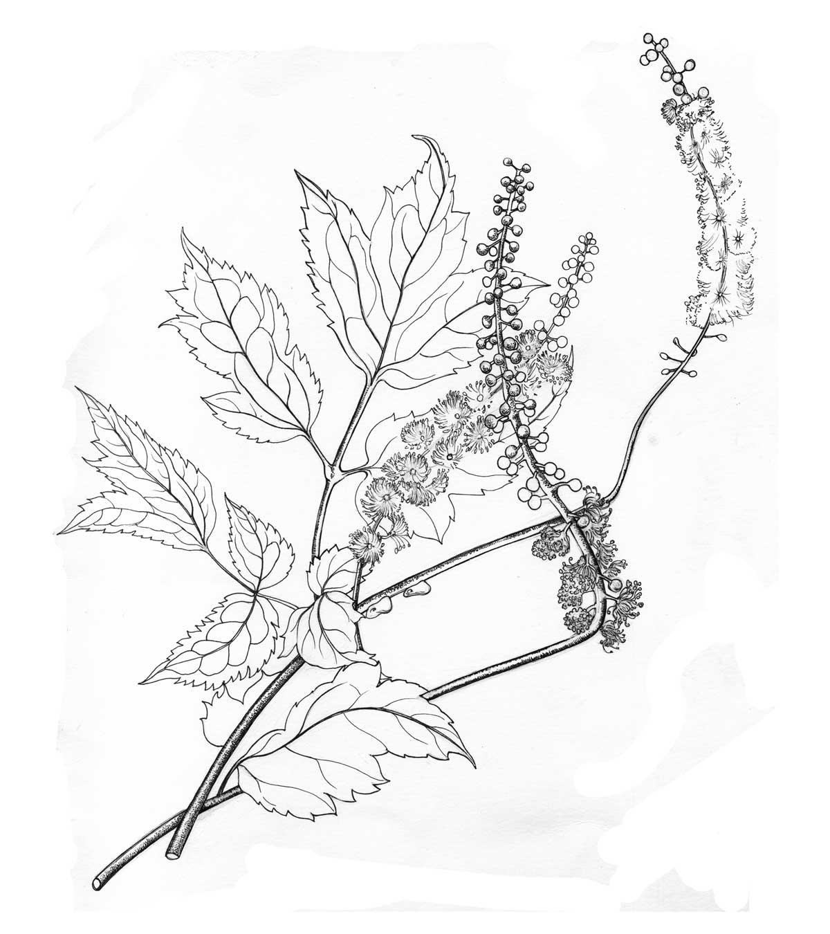 Cimicifuga Racemosa