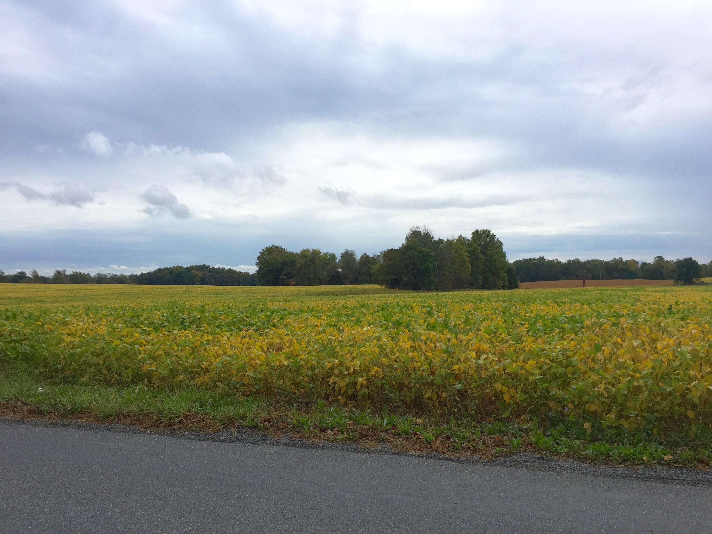 Fall colors in Poolesville Soybean fields