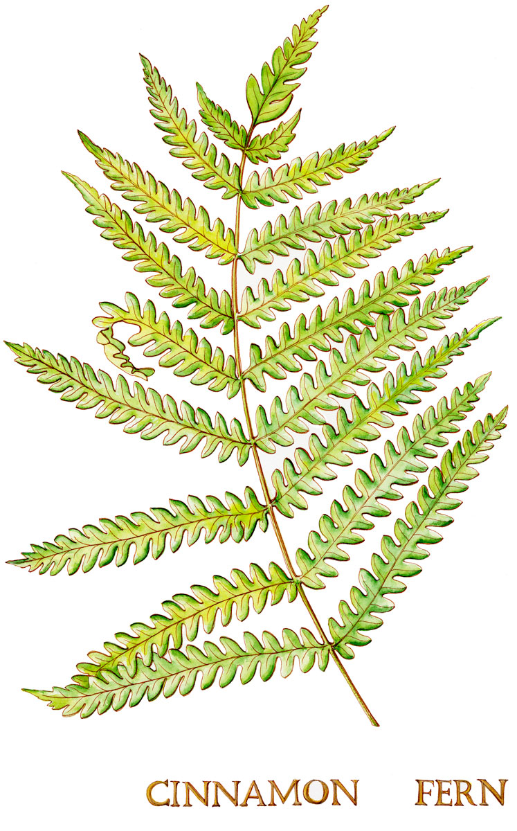 Cinnamon Fern, Watercolor