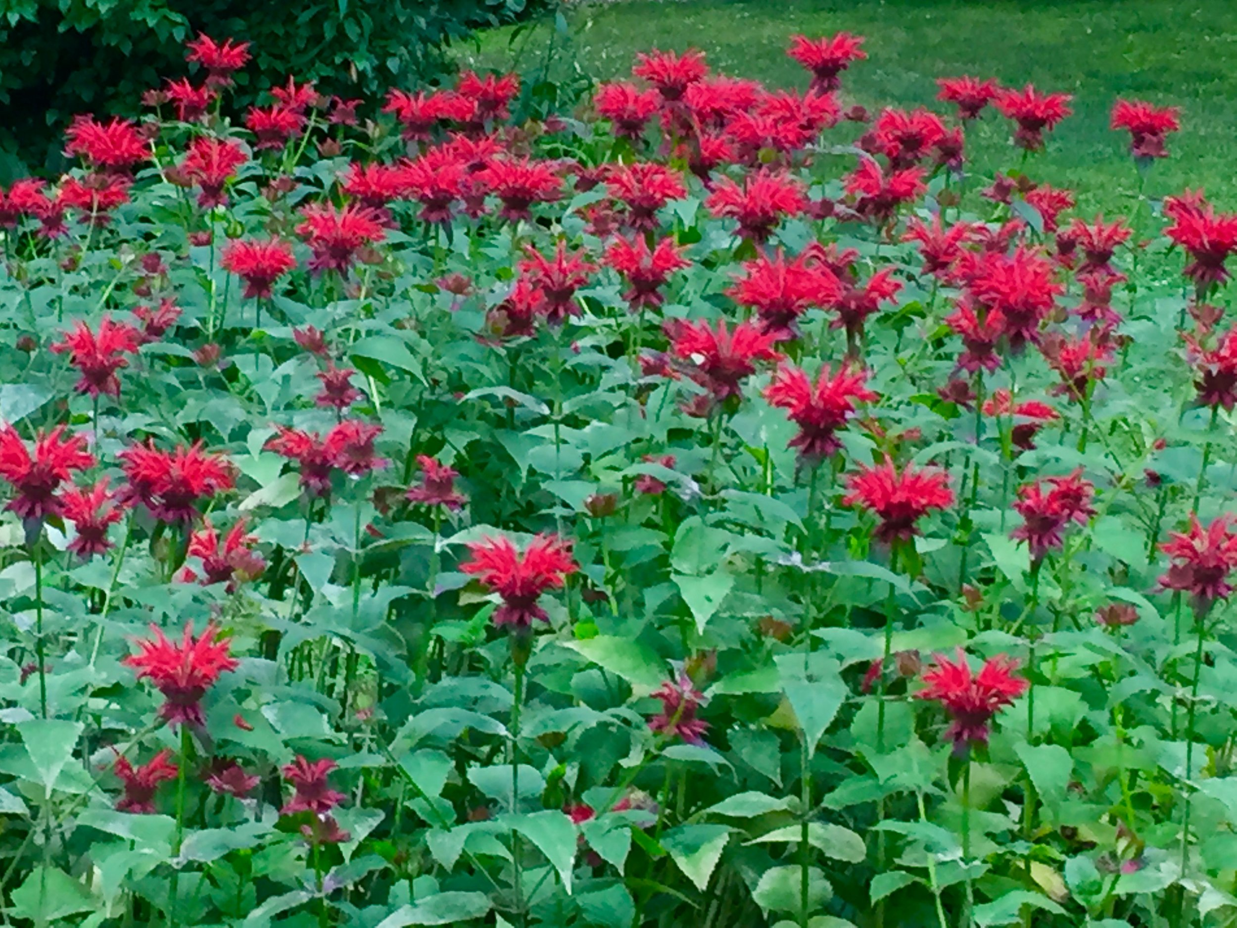 Monarda didyma in bloom.