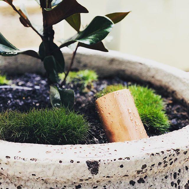 #landscape_lover #copperlights #magnolia #grass #courtyardgarden