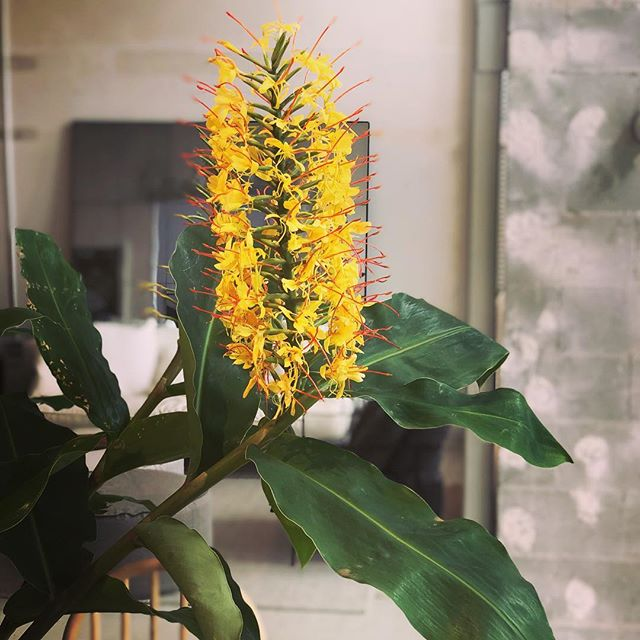#ginger #plantporn #garden #flowers #landscapedesign