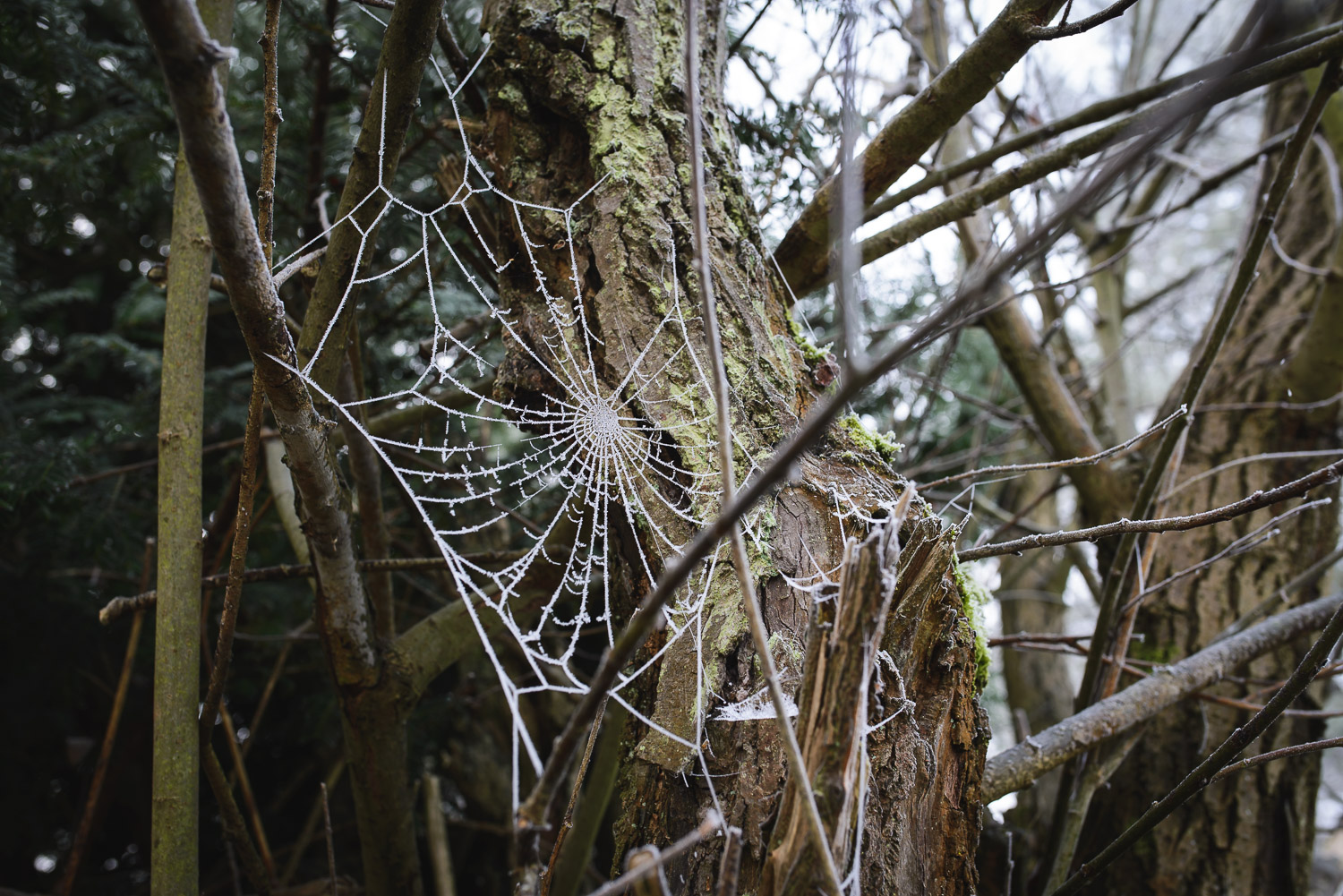 An impressive, frosty cobweb in the Rifle Range Nature Reserve, Worcestershire.