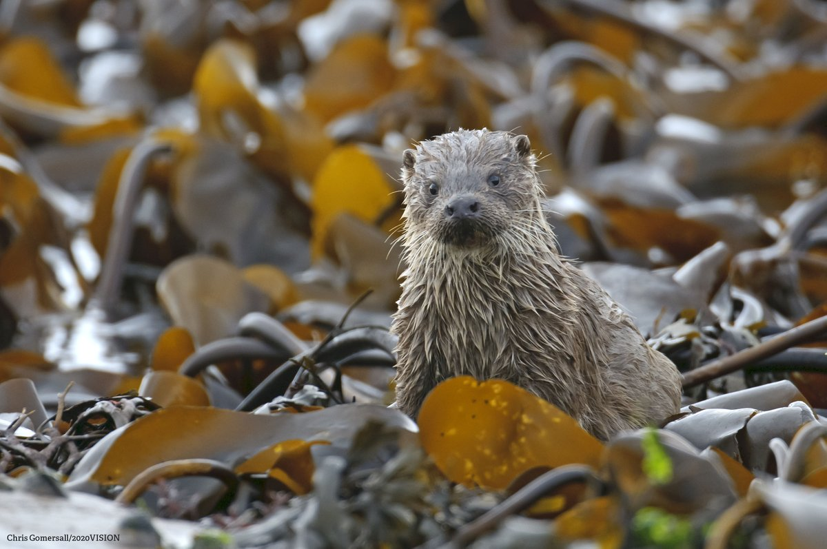 """According to The Wildlife Trust, """" otters have now been seen in every county in England - back from the brink of extinction ."""""""