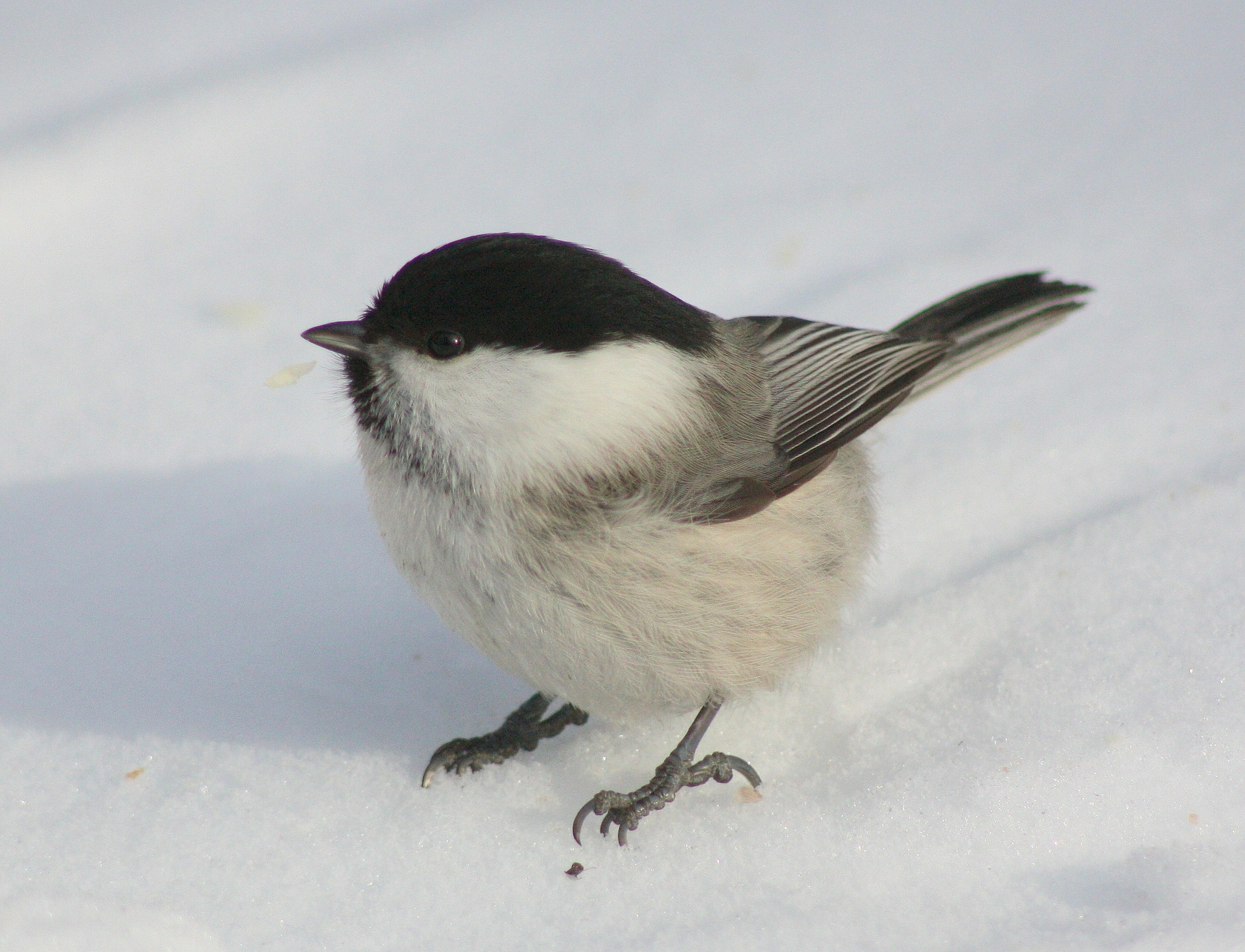 willow-tit-100293_1920 Willow tit Image by David Mark from Pixabay.jpg