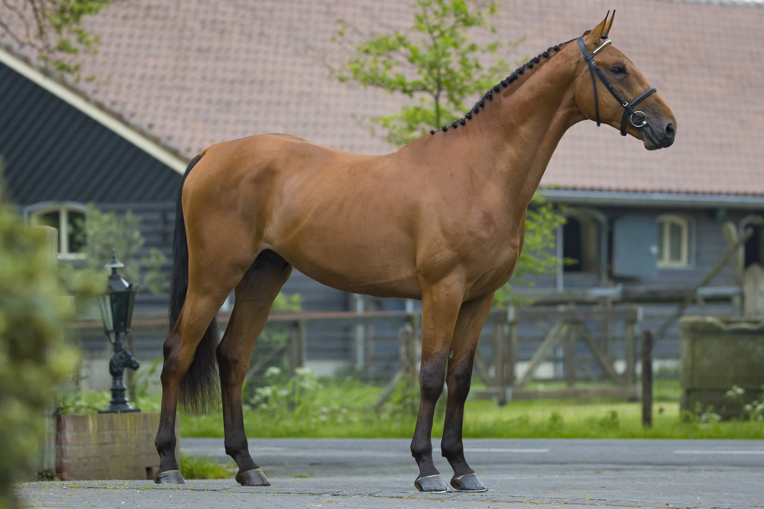 LOT 1    3YO | Height: 171 | Stallion  Vagrant Z x Chellano Z x Ahorn