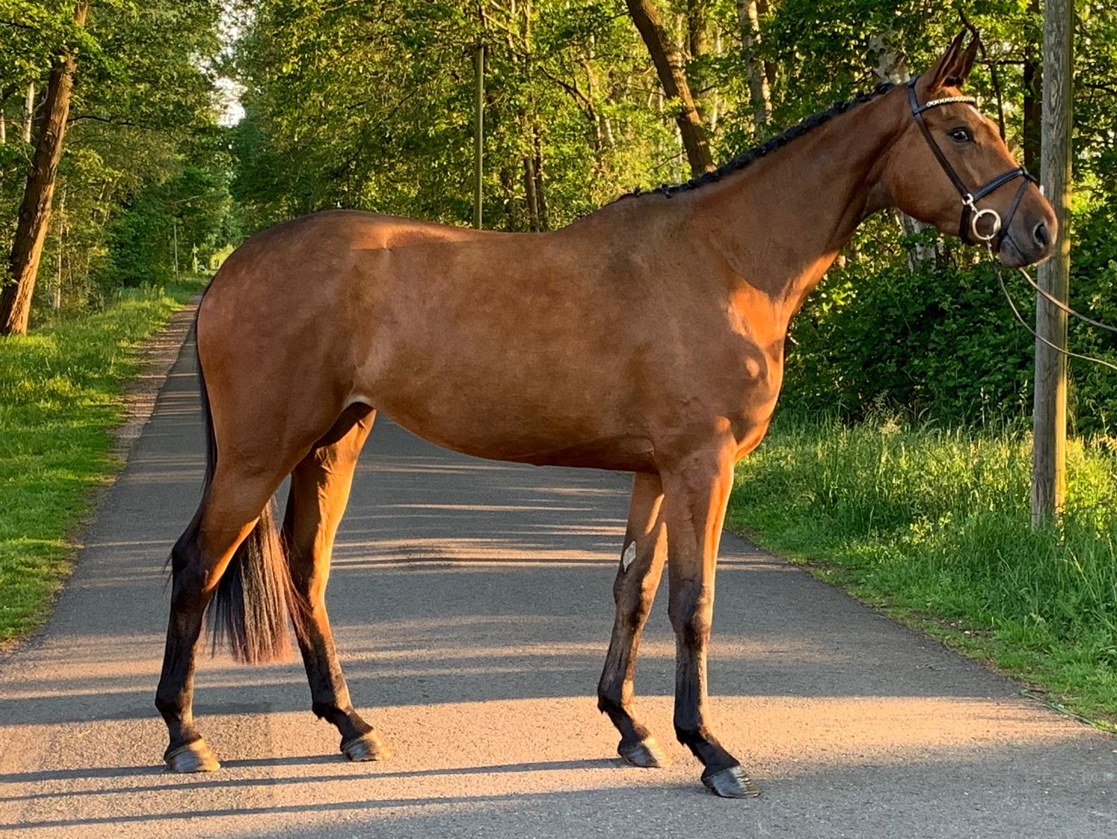 LOT 5    3YO | Height: 170cm | Mare Durango VDL x Conterno Grande x Wyoming