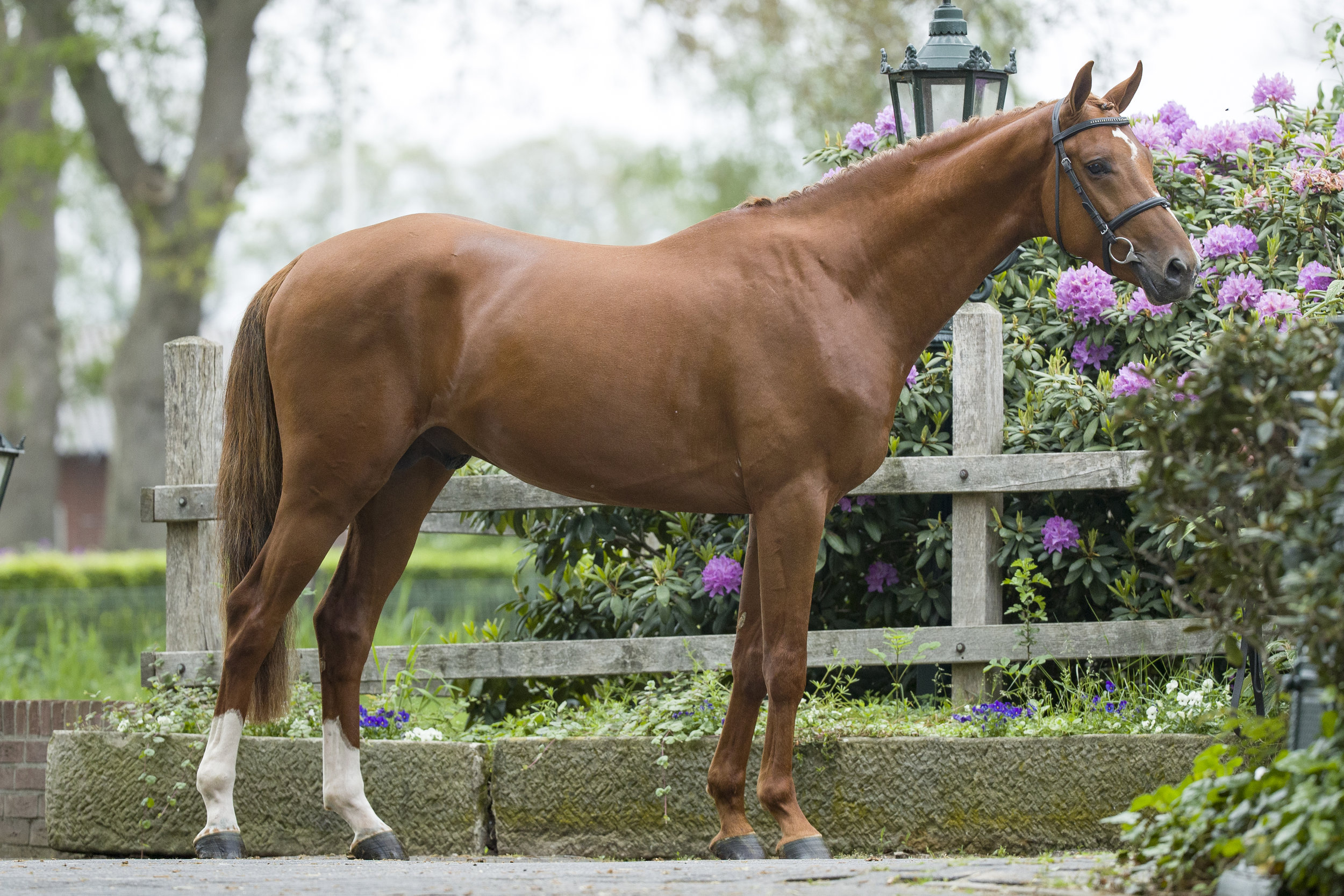 LOT 9    3YO | Height: 163cm | Stallion For Pleasure x Carthago Z x Landino