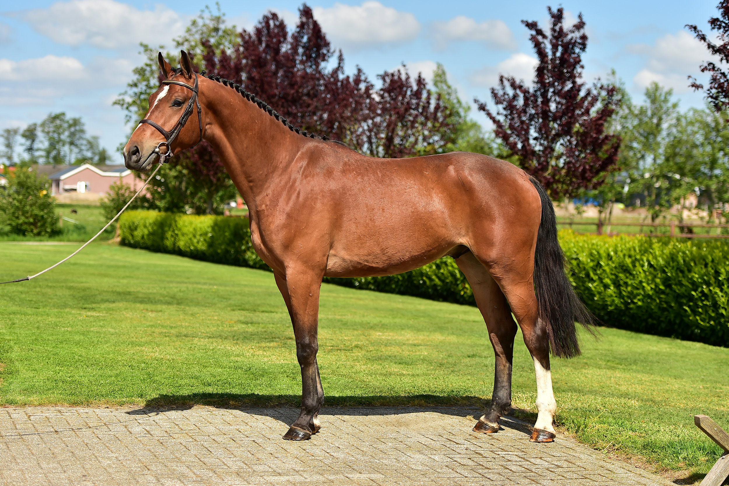 LOT 11    3YO | Height: 170cm | Gelding Homerun x Ahorn x Renville