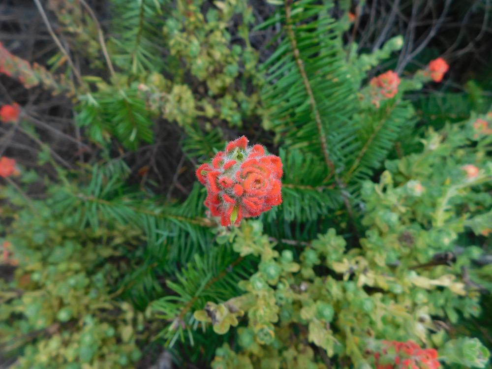 desert flower 1000.jpg