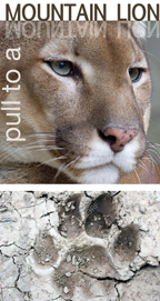 pull to a mountain lion