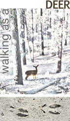 Experienced tracker walking as a deer