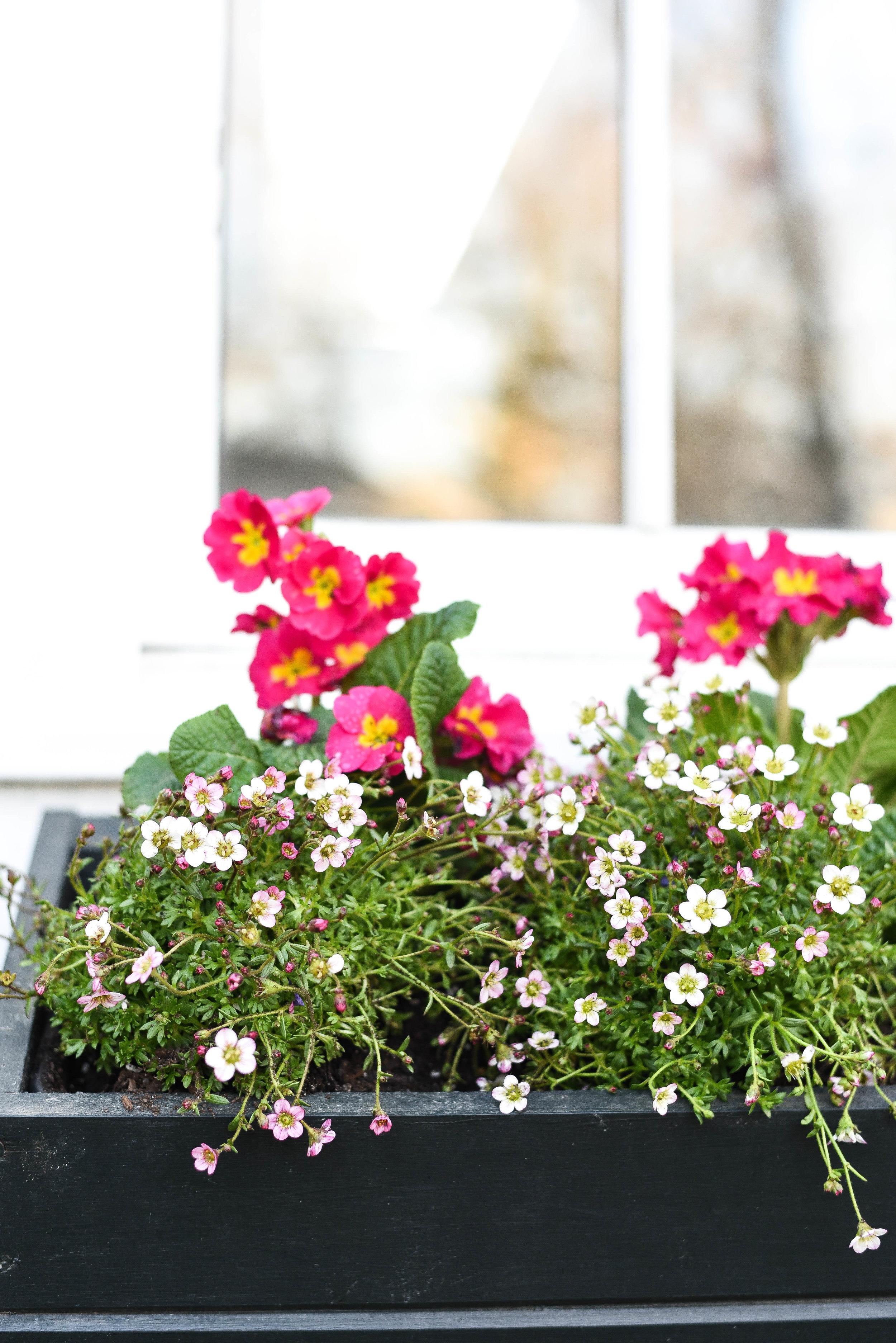 Pink Primrose & Highlander Rose Shades Saxifrage