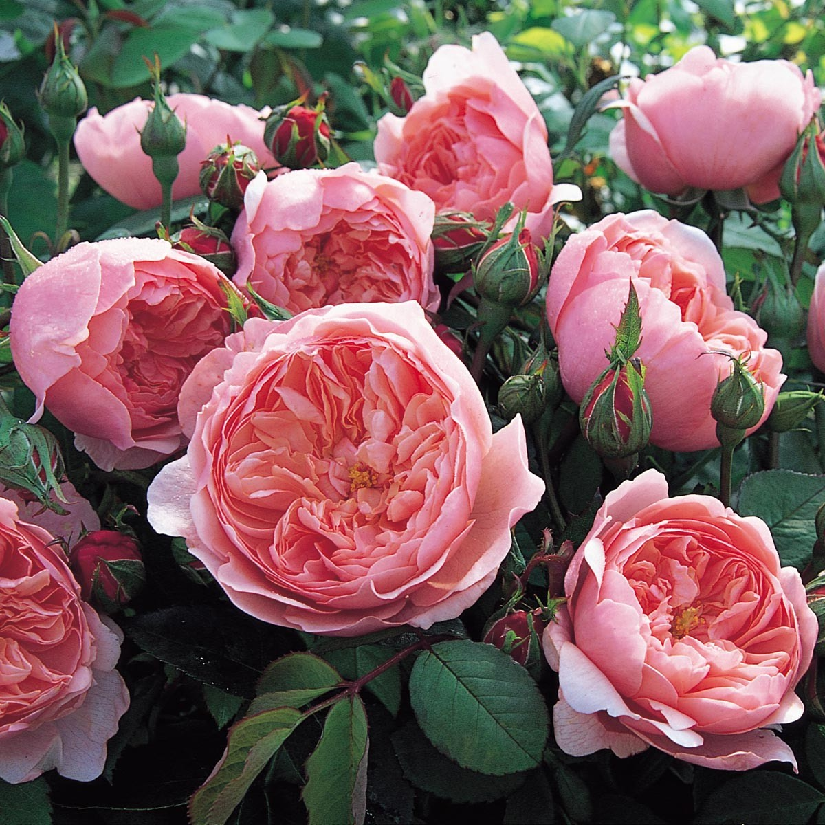 Alnwick Rose - Just loved the look and color of these blooms!Purchase here.