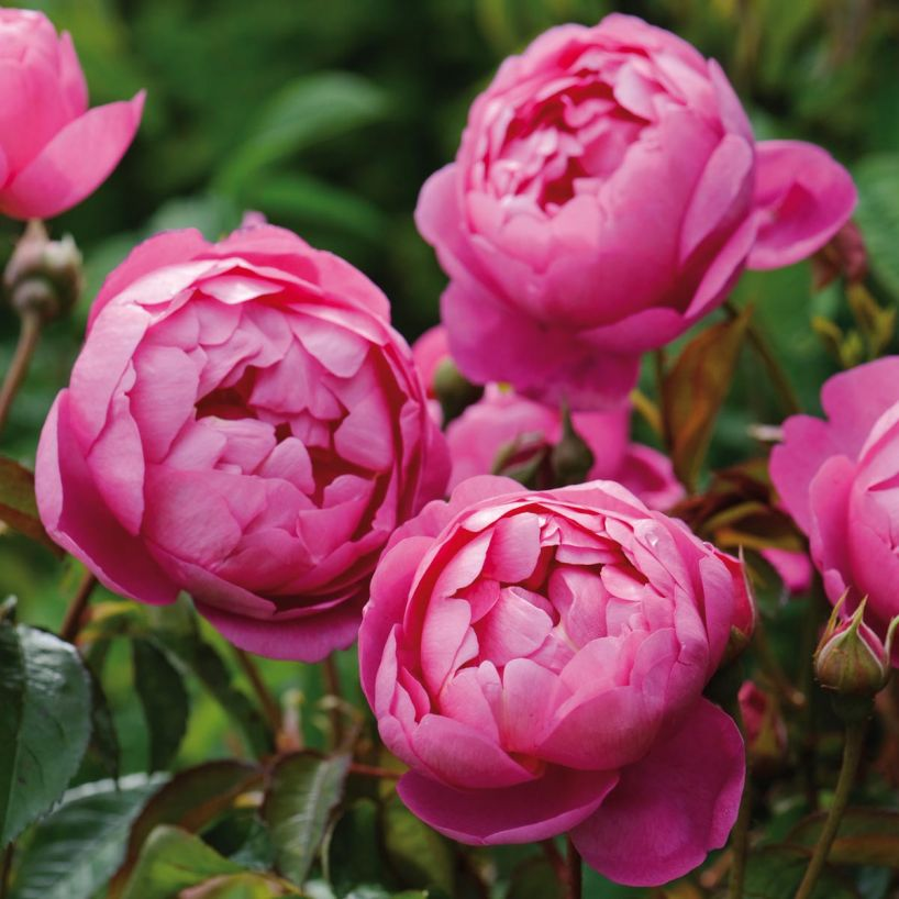 Royal Jubilee - These roses look more like a peony than what I always considered to be a rose! Their bold color made them irresistible to try!Purchase here.