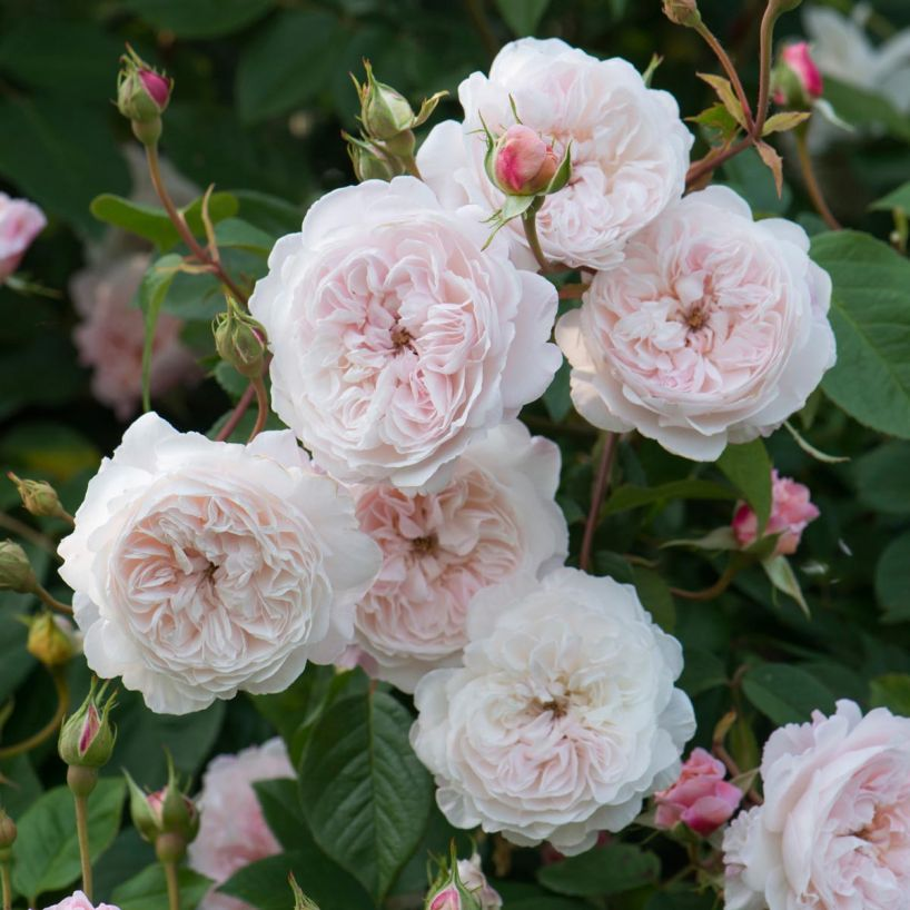Albrighton Rambling Rose - K picked this one out. She loved it for its sweet little blooms…I love it due to it's minimal thorns. Perfect for her! Plus we've got an idea for this on her playhouse!Purchase here.
