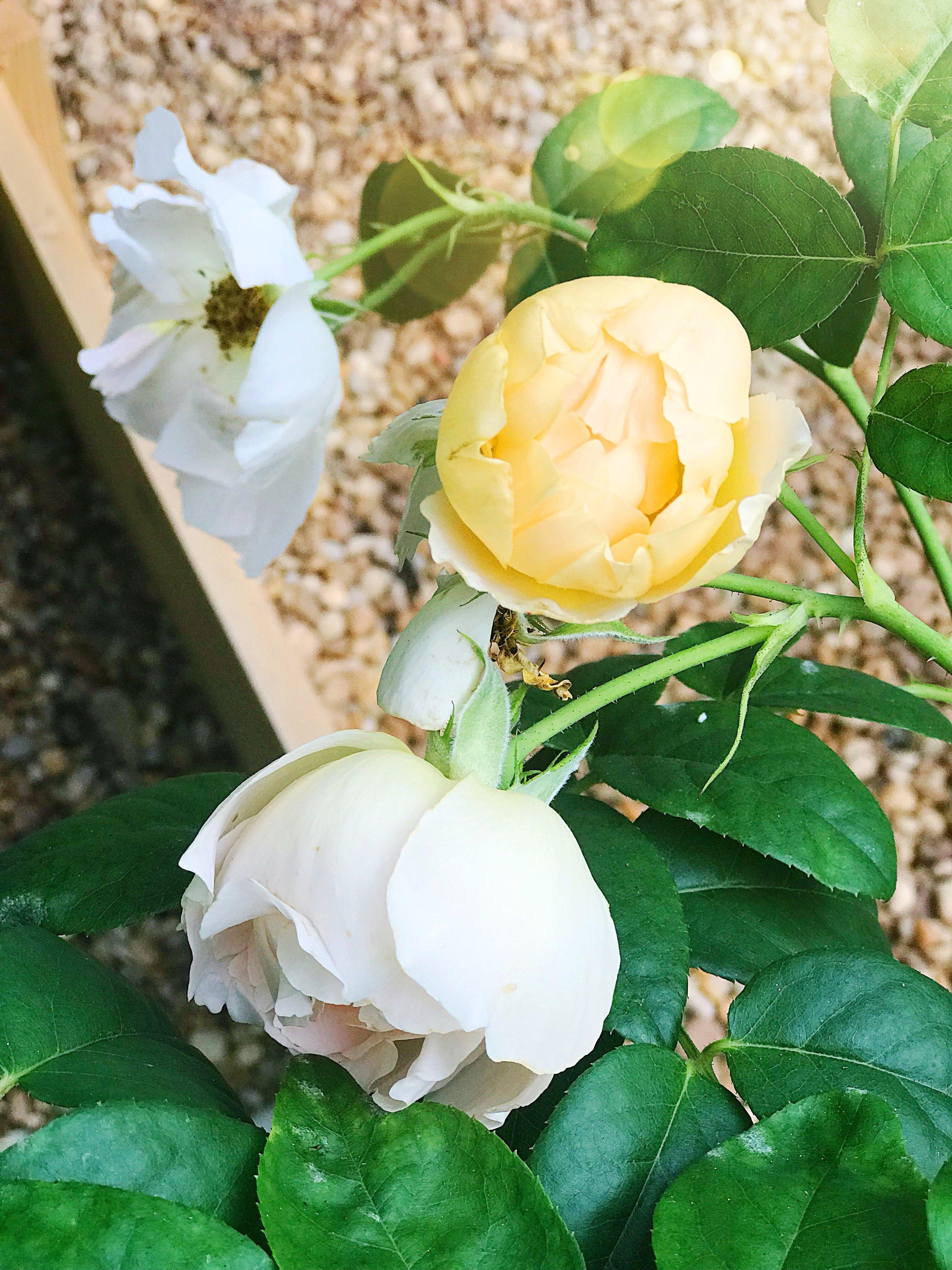 David Austin Roses Comte de Champagne Blooms