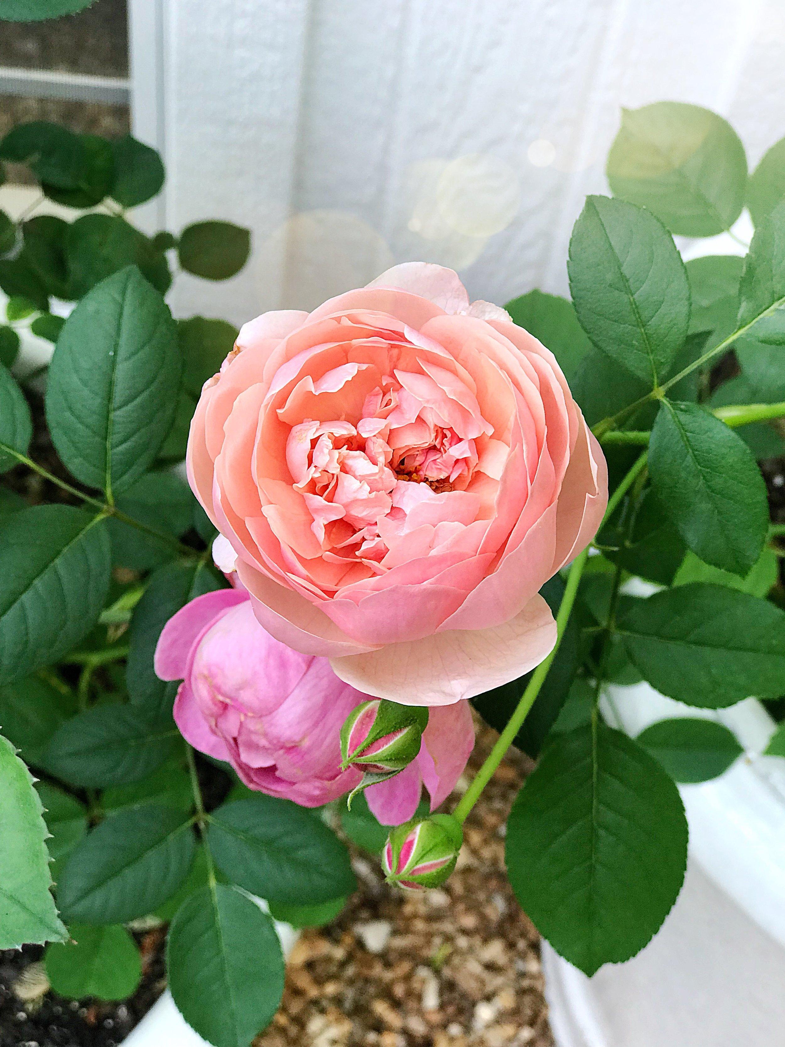 David Austin Roses Alnwick Roses