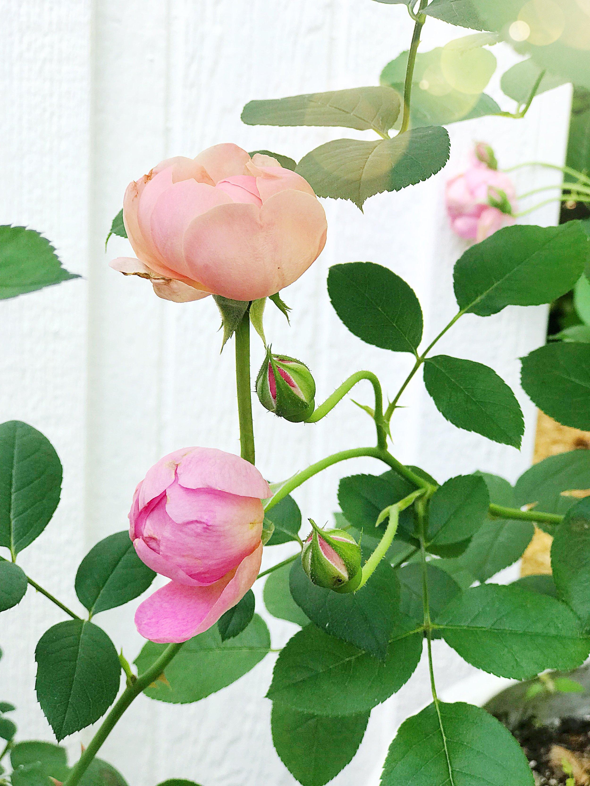 David Austin Roses Royal Jubilee Rose Alnwick Rose