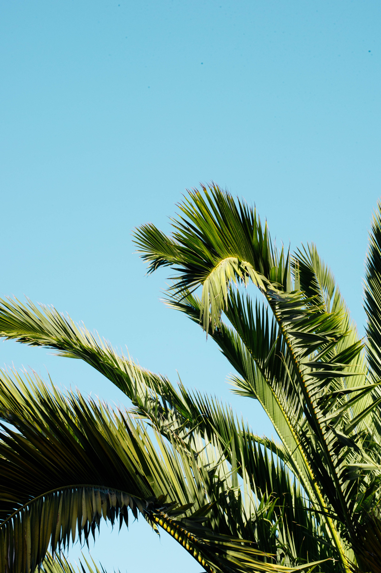 sweetjanesunderground :     Sausalito Palm. September, 2015.    Amanda Greeley