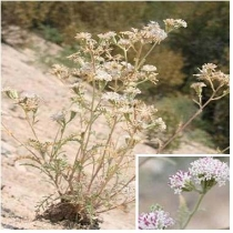 Douglas' dusty-maiden  Chaenactis douglasii