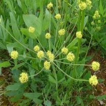 Barestem biscuitroot  Lomatium nudicaule