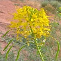 Yellow beeplant  Cleome lutea