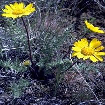 Hooker's balsamroot  Balsamorhiza hookeri