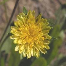 Bigflower agoseris  Agoseris grandiflora