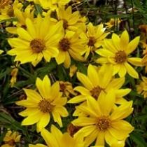 Showy goldeneye  Heliomeris multiflora