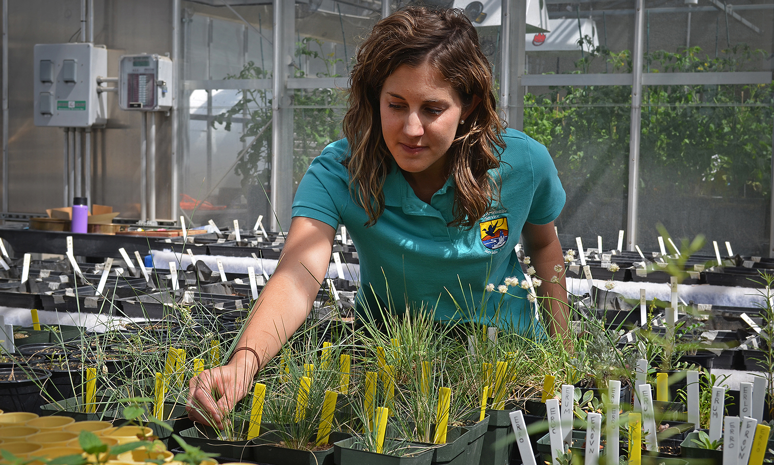 Sarah Kulpa, a US Fish and Wildlife Service botanist, works with native plants in the University of Nevada-Reno greenhouse complex. Credit: Dan Hottle/USFWS