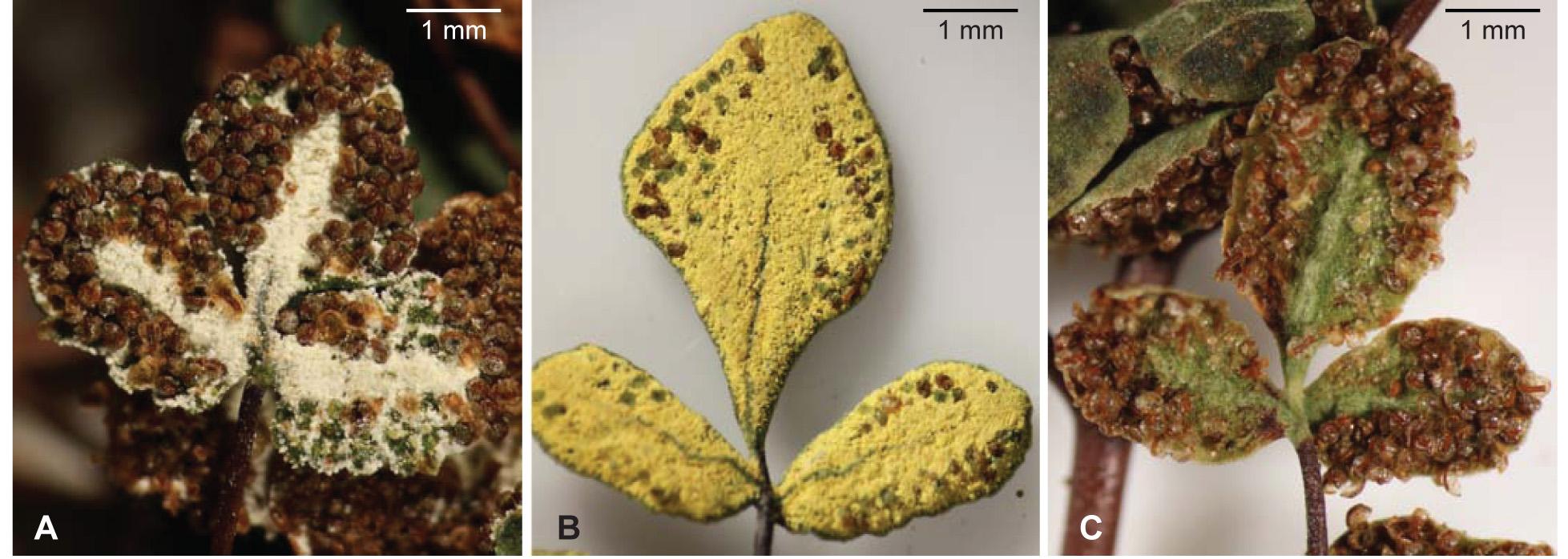 Three varieties of  Argyrochosma nivea . A. A. nivea var. nivea with white farina. B. A. nivea var. flava  with yellow farina. C. A. nivea var. tenera  without farina. (Image from Sigel  et al. 2011,  Systematic Botany )