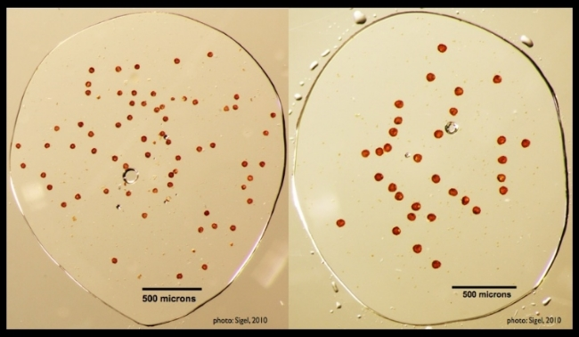 The number of spores per sporangium and spore size vary with mode of reproduction and ploidy, respectively. Sexual diploid plants produce 64 small spores per sporangium (left image). Apomictic plants produce 32 relatively larger (unreduced)spores per sporangium (right image).