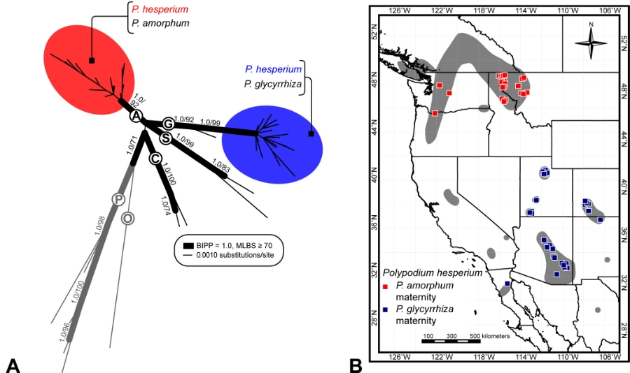Summary of the maternal identity and geographic distributions of the two reciprocally-formed lineages of  Polypodium hesperium .  A.  Best unrooted phylogram recovered by maximum likelihood (ML) analysis of the maternally inherited plastid  trnG-R  data set. Red and blue circles highlight individuals of  P. hesperium  with maternally-inherited plastid sequences data inherited from  P. amorphum  and  P. glycyrrhiza , respectively.Thicker branches display Bayesian inference posterior probability (BIPP) and maximum likelihood bootstrap (MLBS) support values (see inset legend).  B. Geographic distribution of  P. hesperium  and specific collection localities of  P. hesperium  specimens.Gray patches represent the known geographic range of  P. hesperium .Squares indicate the collection localities of particular specimens.Square color corresponds to the maternal plastid donor:red indicates  P. hesperium  specimens with plastids inherited from  P. amorphum ;blue indicates  P. hesperium  specimens with plastids inherited from  P. glycyrrhiza.  Image modified from Sigel et al. 2014,  American Journal of Botany.