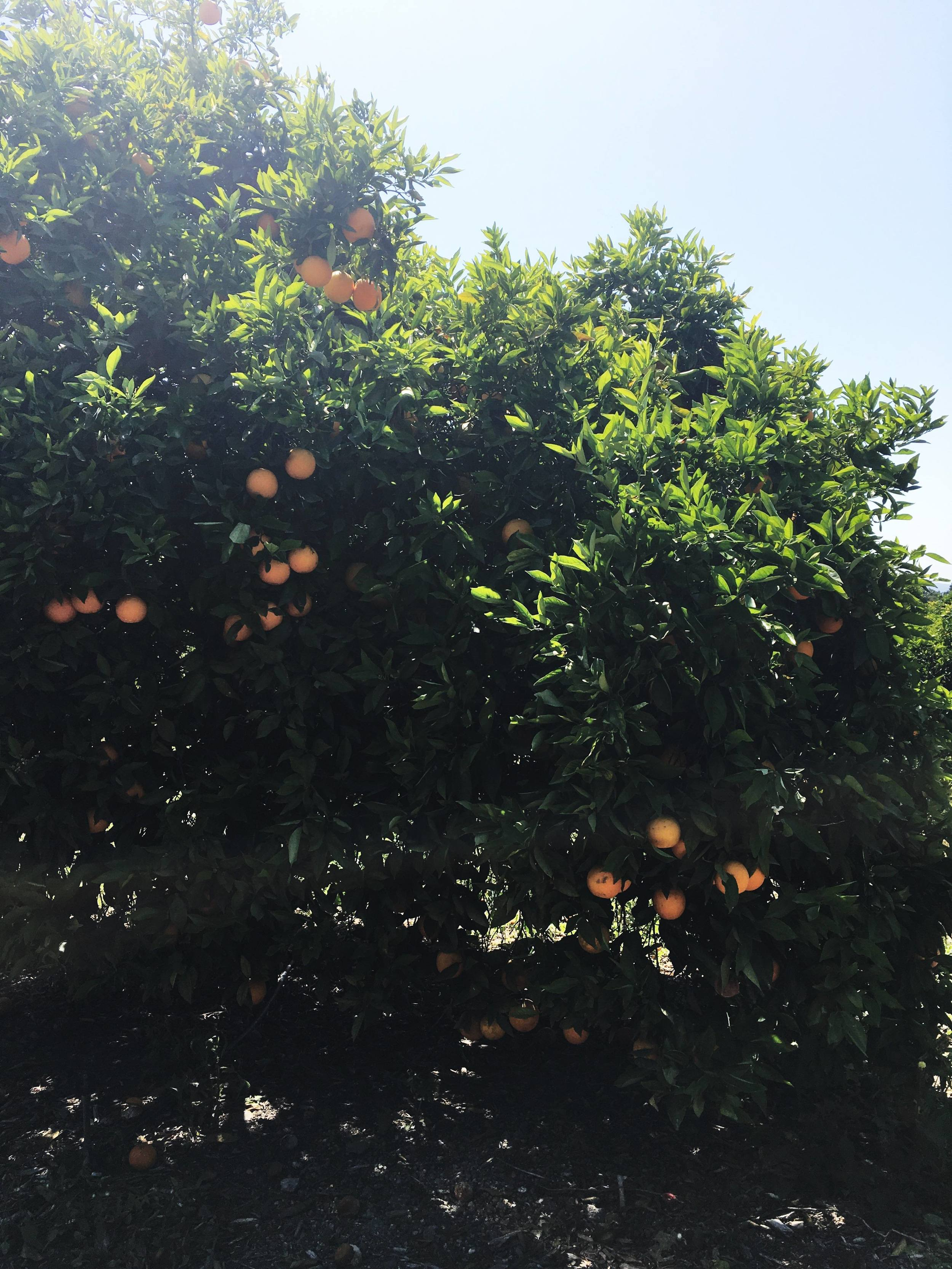 A Sunkist orange grove. There's rows and rows and rows of trees.