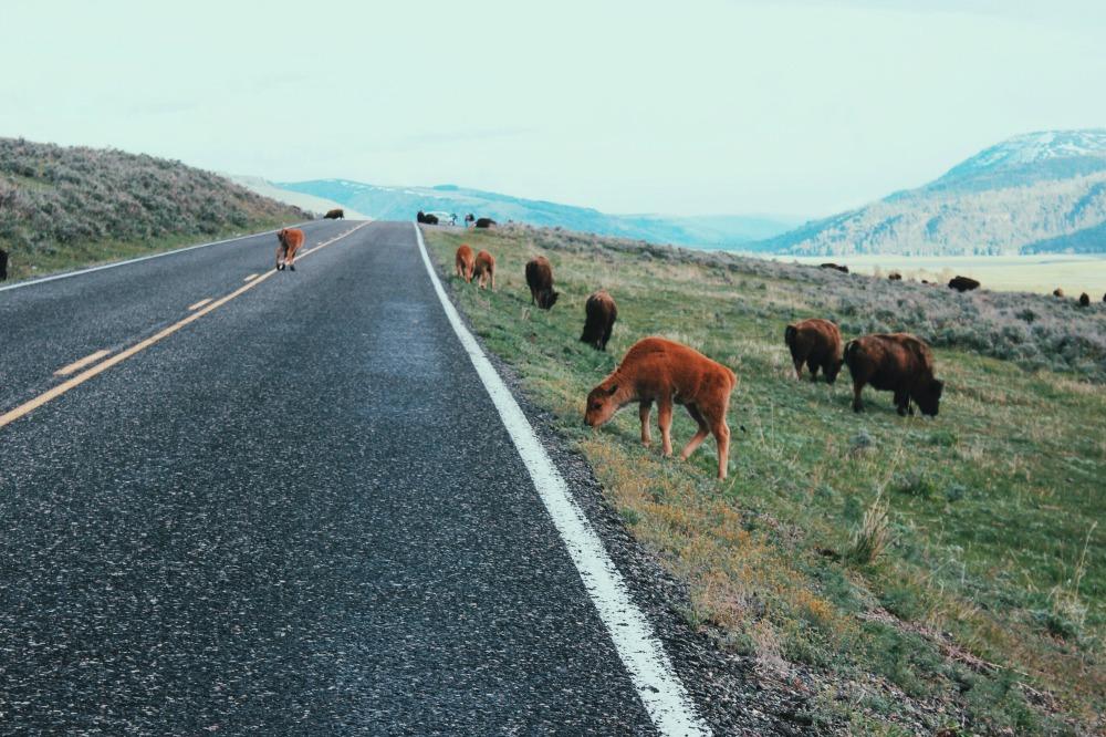 baby bison : ouiwegirl.com