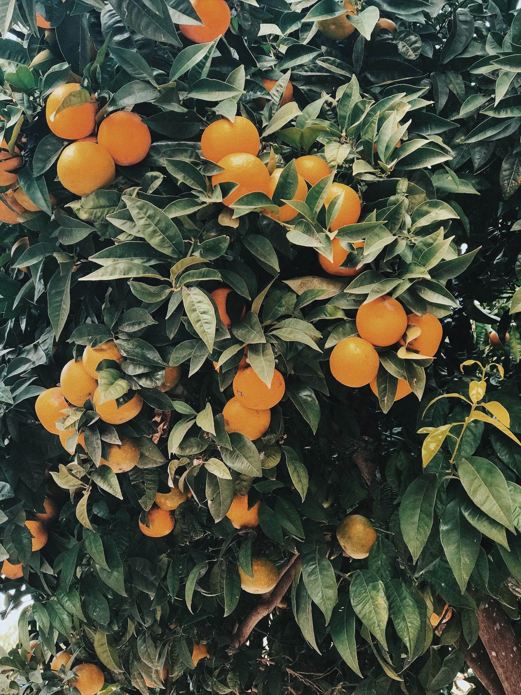 orange grove resize.jpg