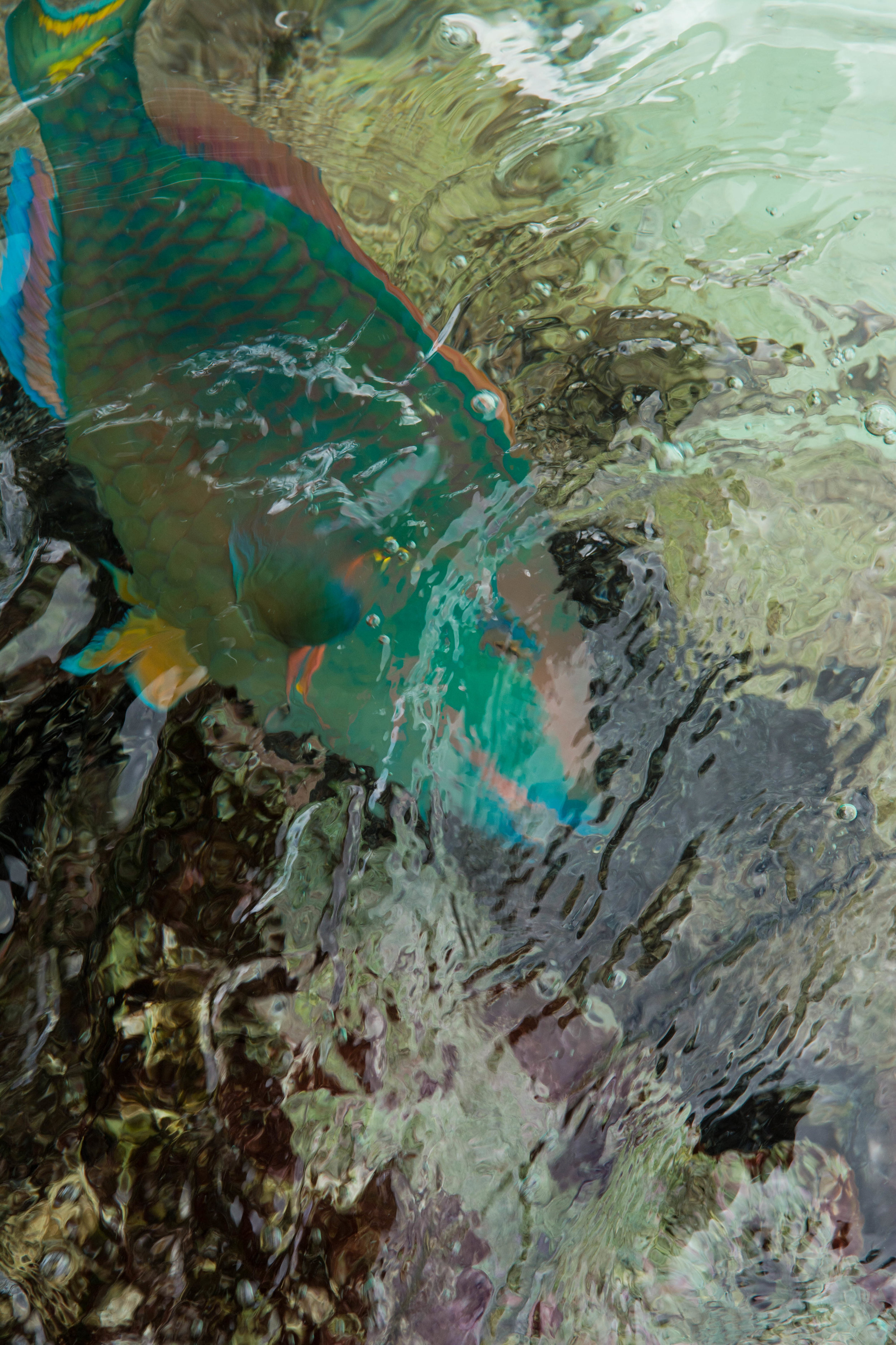 Parrotfish, Bonaire