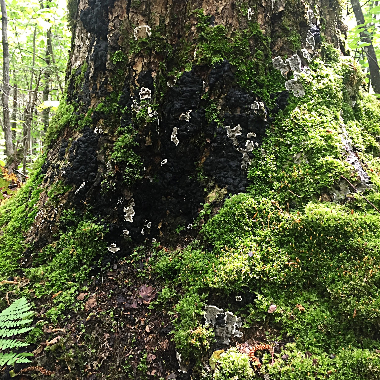 Sources variées - Nombreuses sont les institutions à prescrire les immersions en forêt à leurs citoyens.