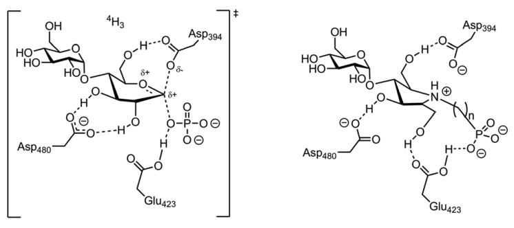 New pyrrolidines designed to interact with a glycoside hydrolase-like enzyme.